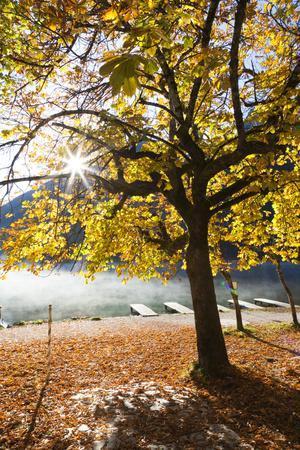 Chestnut Tree in Autumn, Lake Hintersee, Bavaria, Germany