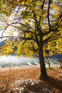 Chestnut Tree in Autumn, Lake Hintersee, Bavaria, Germany by F. Lukasseck