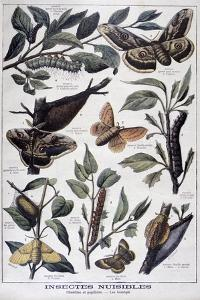 Harmful Insects: Caterpillars, Butterflies and Moths, 1897 by F Meaulle