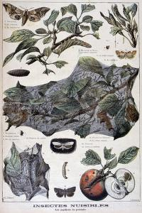 Harmful Insects: Moths That Damage Apple Trees, 1897 by F Meaulle
