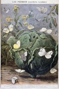 Pierid Butterflies, 1897 by F Meaulle