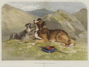 Shepherd's Dogs by F. Tayler