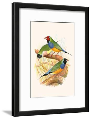 Gouldian Finch, Black Headed and Red Headed