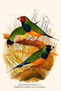 Gouldian Finch by F.w. Frohawk