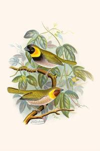 Melodius or Cuba Finch by F.w. Frohawk