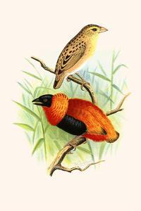 Orange Weaver by F.w. Frohawk