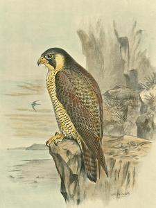 Peregrine Falcon by F.w. Frohawk