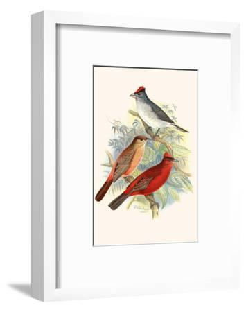 Pileated Finch and Red Crested Finch