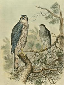 Sparrow Hawk by F^w^ Frohawk