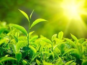 Green Tea Bud and Leaves. Tea Plantations, Kerala, India by f9photos