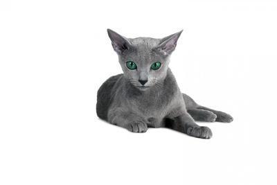 Blue Russia Cat