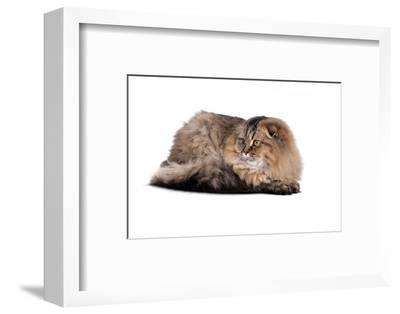 Highland Folt Cat