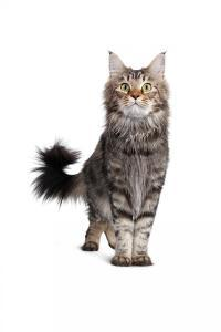 Maine Coon Cat by Fabio Petroni
