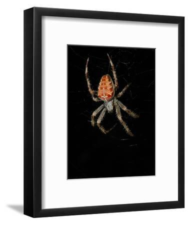 A European Garden Spider (Araneus Diadematus) on its Web at Night