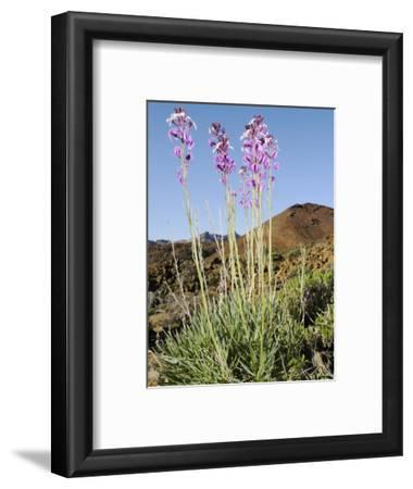 Flowers in the Arid Mountains of Tenerife, Canary Islands, Spain