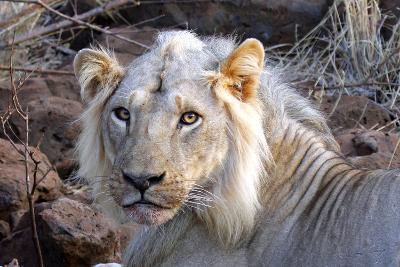 Face of Feeding Lion, Meru, Kenya-Kymri Wilt-Photographic Print