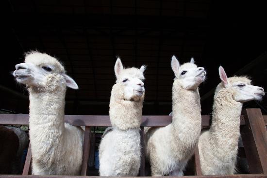 Face of Four Funny Alpacas Llama in Farm-khunaspix-Photographic Print
