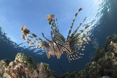 Facial View of a Lionfish Showing its Spines-Stocktrek Images-Photographic Print