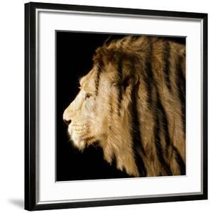 Fairly Elegant for a Liger (Lion Patterned with Tiger Stripes)