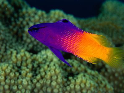 Fairy Basslet (Gramma Loreto), South of Prince Rupert Bay, Portsmouth, Portsmouth, Dominica-Michael Lawrence-Photographic Print