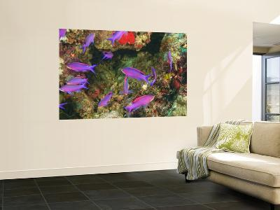 Fairy Basslets in Milne Bay, Papua New Guinea-Stuart Westmorland-Giant Art Print