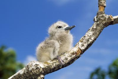 Fairy Tern Chick on Branch--Photographic Print