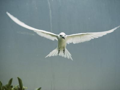 Fairy Tern in Flight-Bates Littlehales-Photographic Print