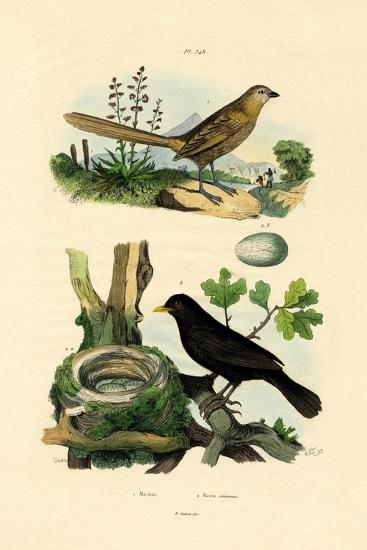 Fairy-Wren, 1833-39--Giclee Print