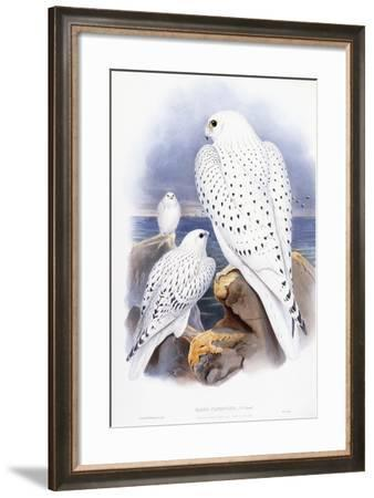 Falco Candicans--Framed Giclee Print