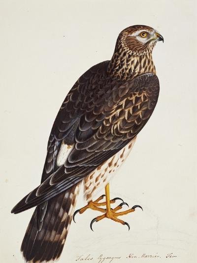 Falco Pygargus, Hen-Harrier, Fem-Christopher Atkinson-Giclee Print