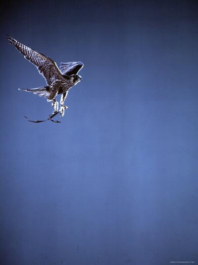 Falcon in Flight-Gjon Mili-Photographic Print