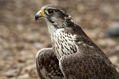 Falcon Portrait-Sheila Haddad-Photographic Print