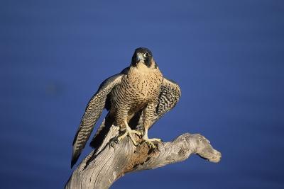 Falcon-outdoorsman-Photographic Print