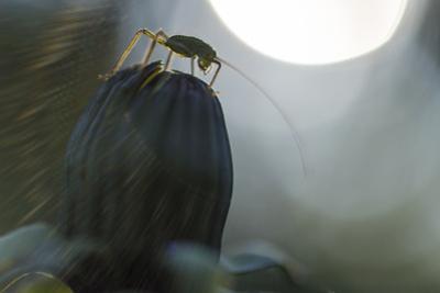 Grasshopper Sits on Dandelion Bud, Orthoptera by Falk Hermann