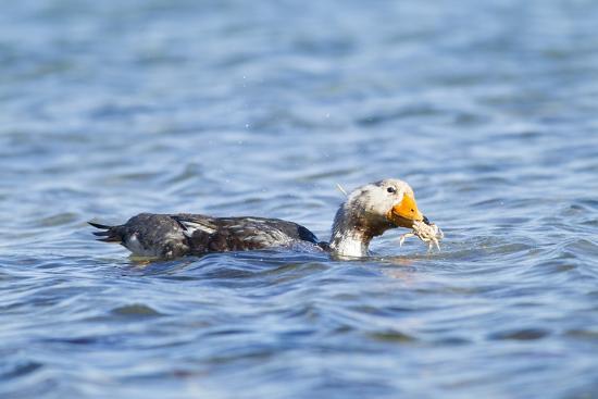 Falkland Flightless Steamer Duck-Joe McDonald-Photographic Print