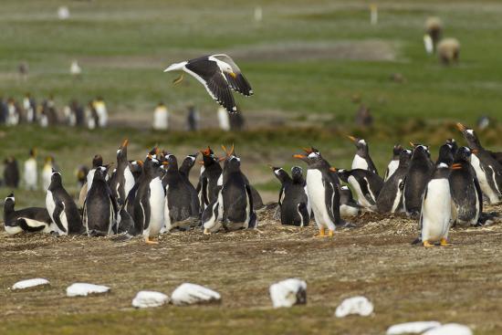 Falkland Island. Kelp Gull Flies over Gentoo Penguin Colony-Cathy & Gordon Illg-Photographic Print