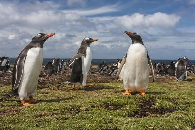 Falkland Islands, Bleaker Island. Gentoo Penguin Colony-Cathy & Gordon Illg-Photographic Print