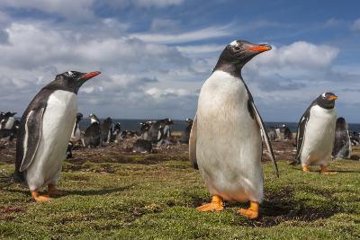 Falkland Islands, Bleaker Island. Gentoo Penguin Colony-Cathy & Gordon Illg-Photographic Print