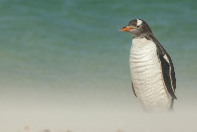 Falkland Islands, Bleaker Island. Gentoo Penguin on the Beach-Cathy & Gordon Illg-Photographic Print