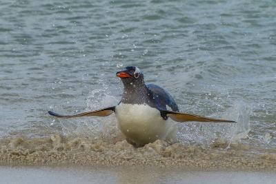Falkland Islands, Bleaker Island. Gentoo Penguin Surfing-Cathy & Gordon Illg-Photographic Print