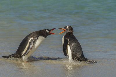 Falkland Islands, Bleaker Island. Gentoo Penguins Arguing-Cathy & Gordon Illg-Photographic Print