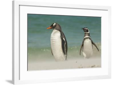 Falkland Islands, Bleaker Island. Gentoo Penguins on the Beach-Cathy & Gordon Illg-Framed Photographic Print