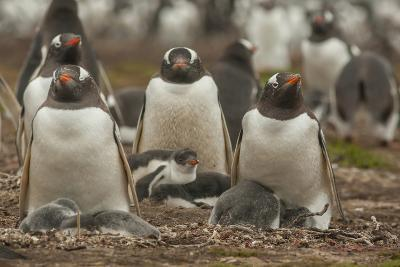 Falkland Islands, Bleaker Island. Group of Gentoo Penguins-Cathy & Gordon Illg-Photographic Print