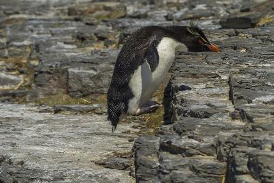 Falkland Islands, Bleaker Island. Rockhopper Penguin-Cathy & Gordon Illg-Photographic Print