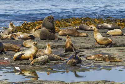 Falkland Islands, Bleaker Island. Southern Sea Lions Near Water-Cathy & Gordon Illg-Photographic Print