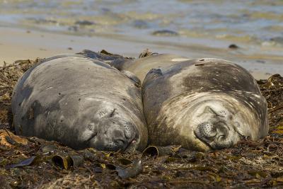 Falkland Islands, Carcass Island. Southern Elephant Seals, Sleeping-Cathy & Gordon Illg-Photographic Print