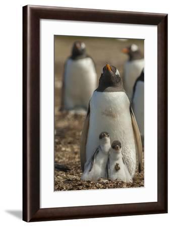 Falkland Islands, East Falkland. Gentoo Penguin Chicks and Parent-Cathy & Gordon Illg-Framed Photographic Print