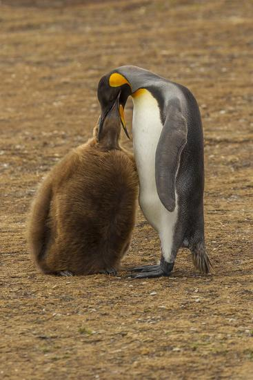 Falkland Islands, East Falkland. King Penguin Parent Feeding Chick-Cathy & Gordon Illg-Photographic Print