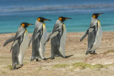 Falkland Islands, East Falkland. King Penguins Walking-Cathy & Gordon Illg-Photographic Print