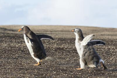 Falkland Islands. Gentoo Penguin Chicks Only Fed after a Wild Pursuit-Martin Zwick-Photographic Print